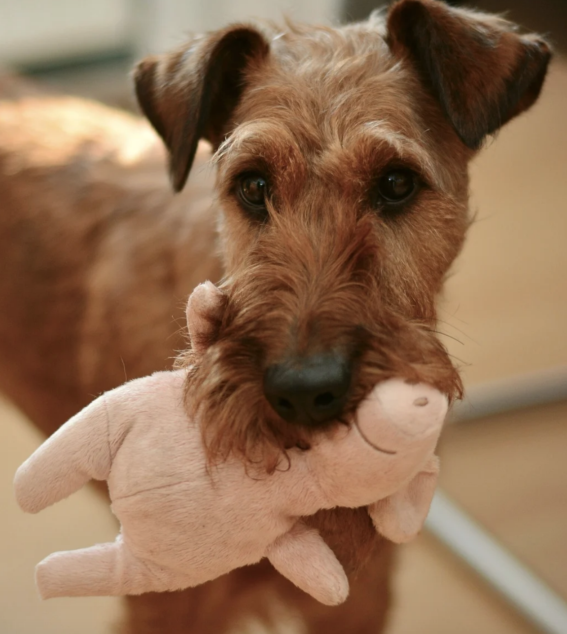 Dog holding toy in mouth