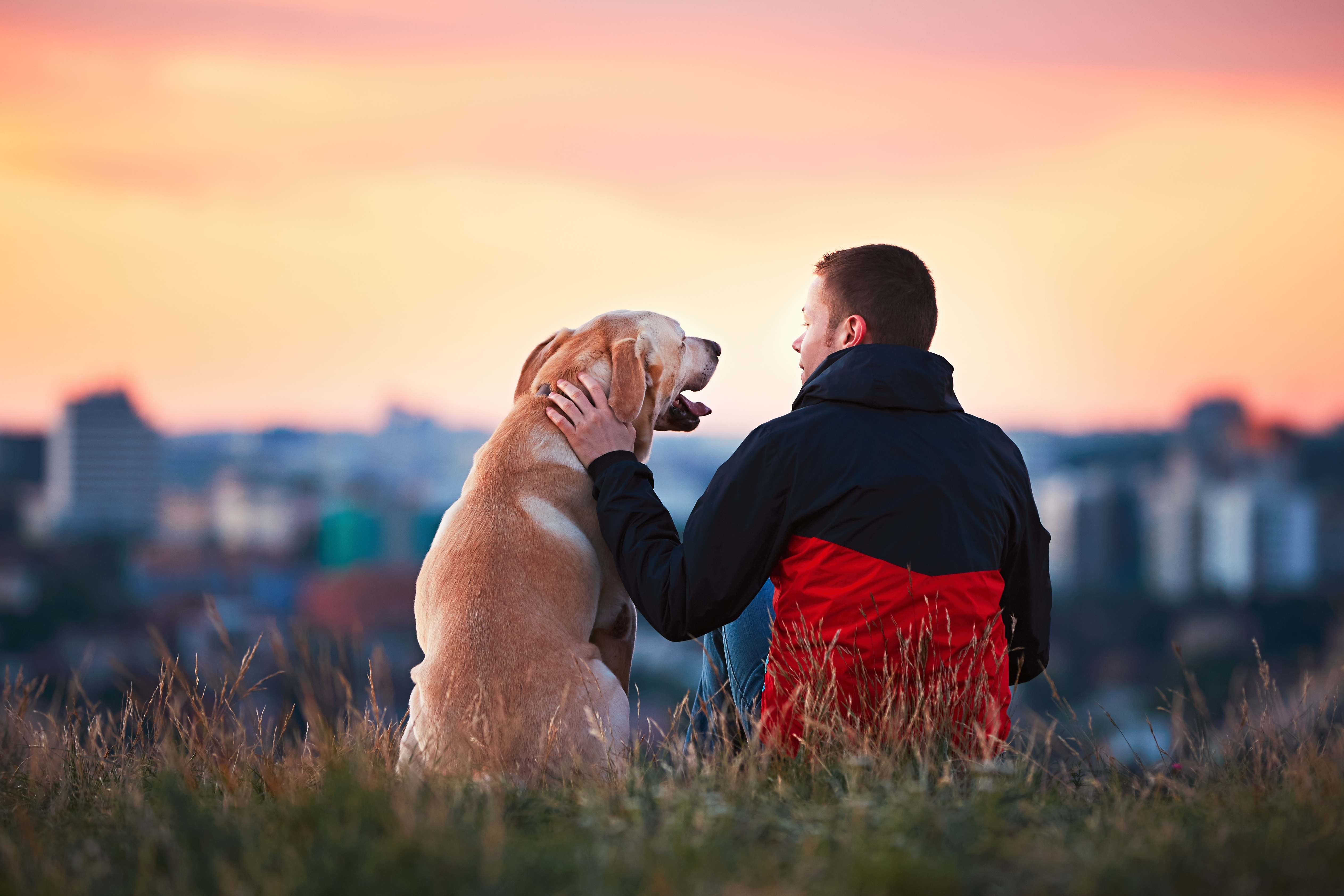 Labrador retriever sitting in the grass with owner