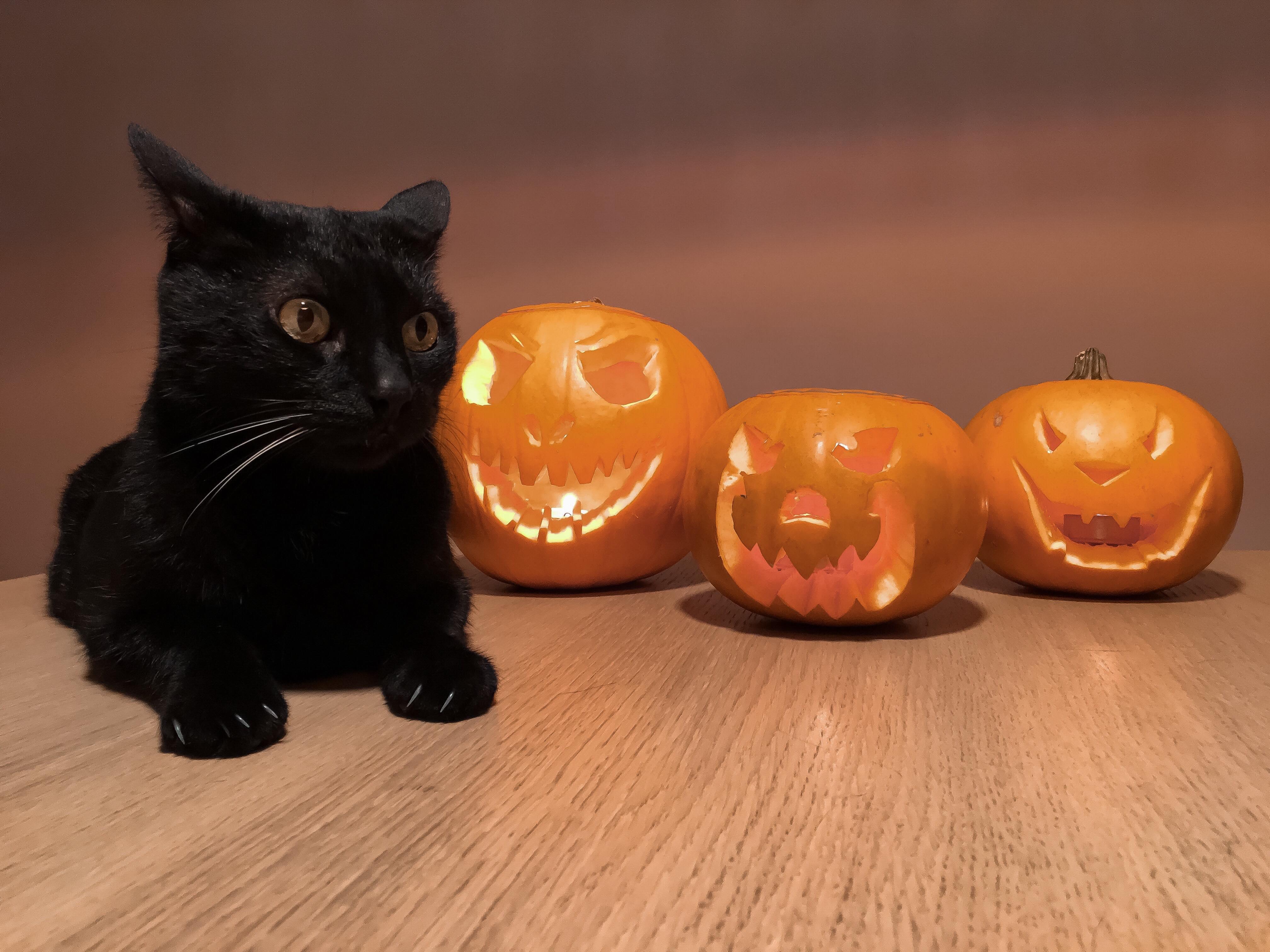 Cat beside pumpkins at halloween