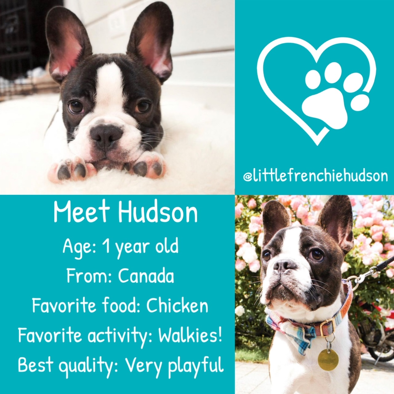 Hudson the French Bulldog