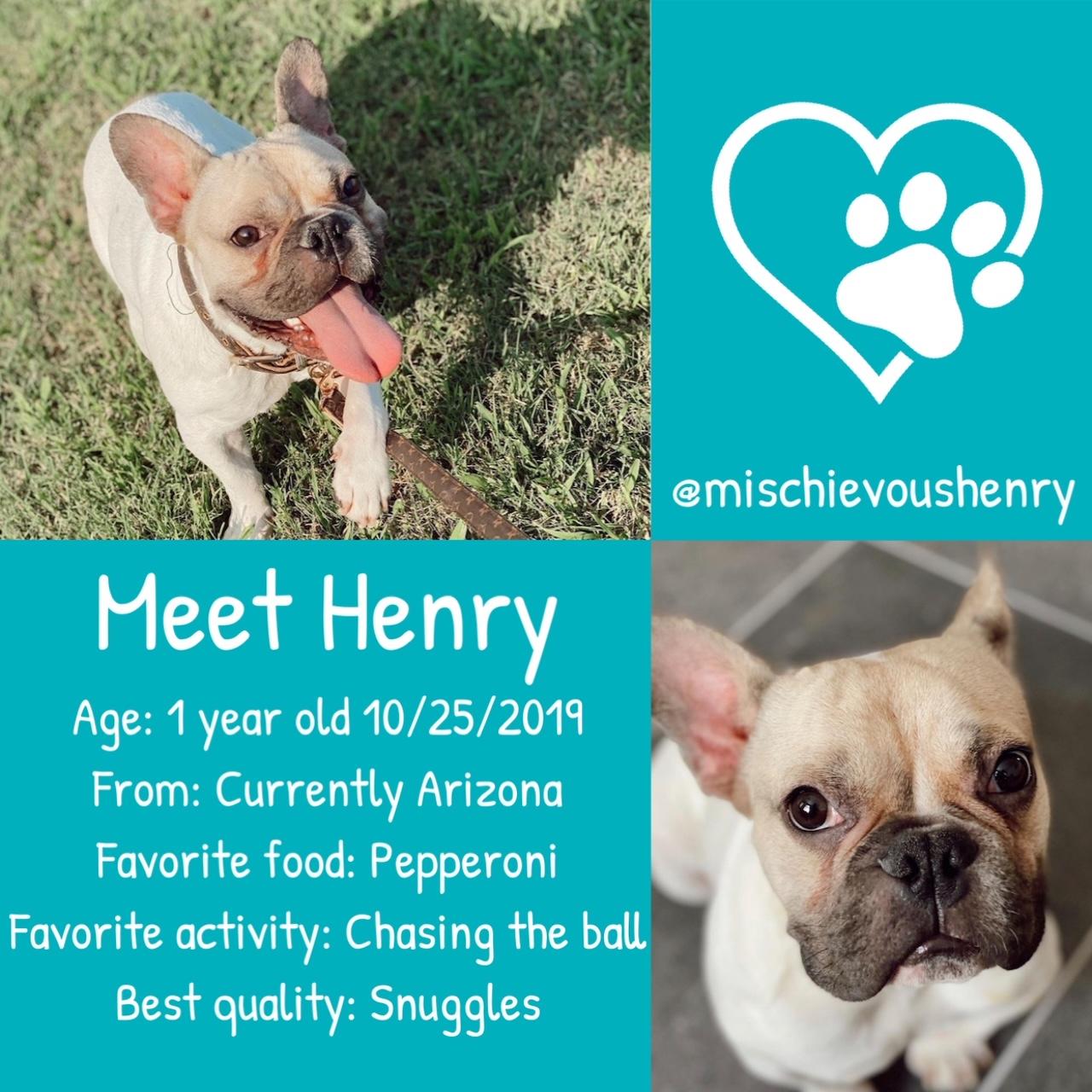 Henry the French Bulldog