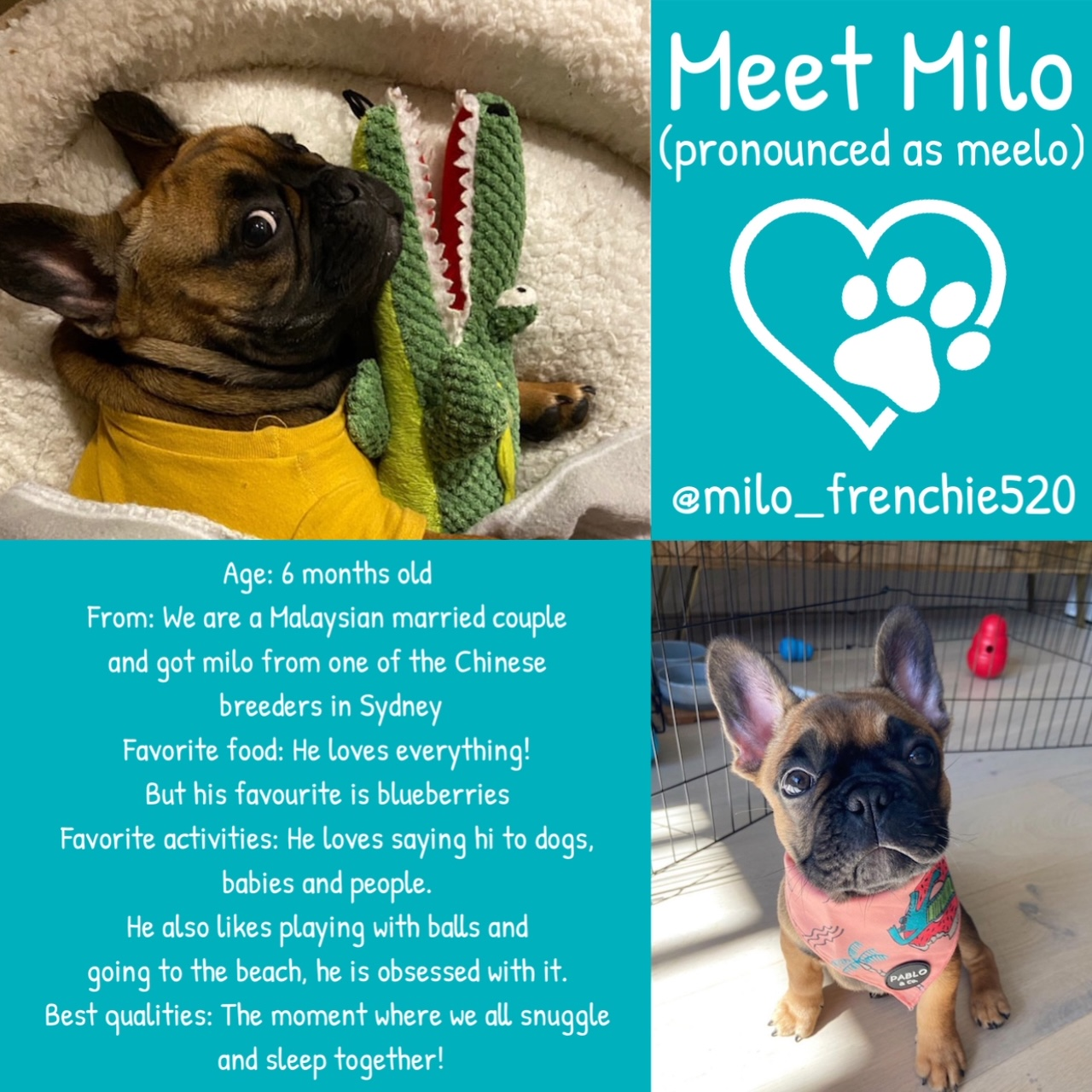 Milo the French Bulldog