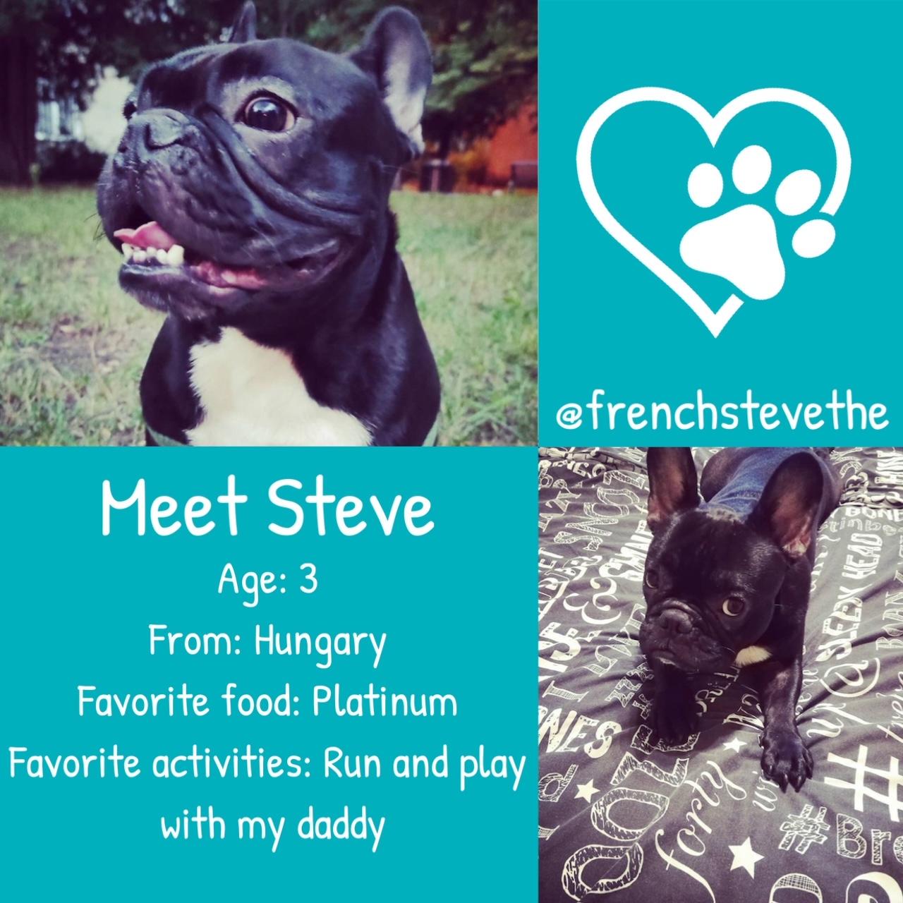 Steve the French Bulldog