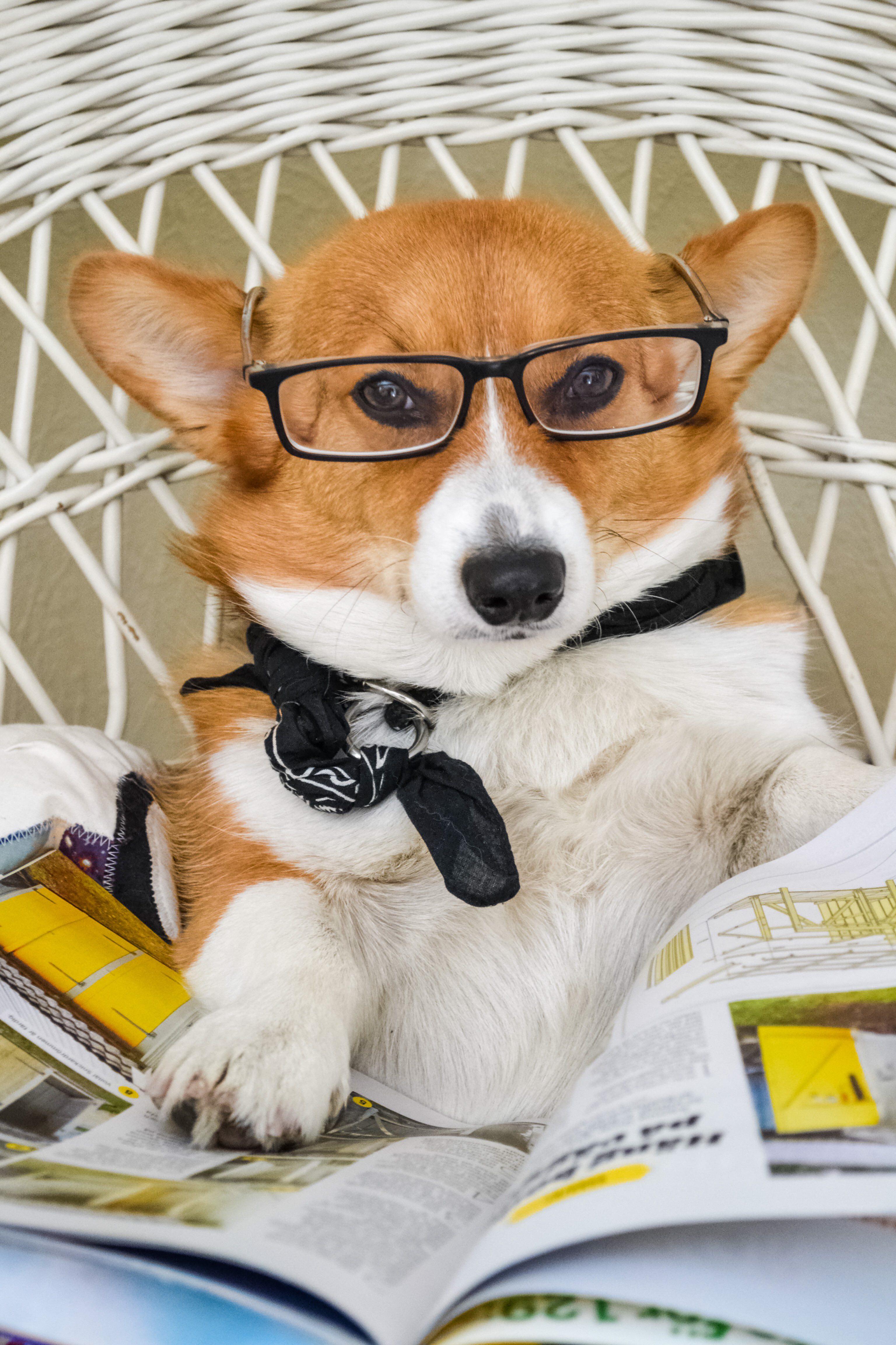 Corgi wearing glasses holding magazine