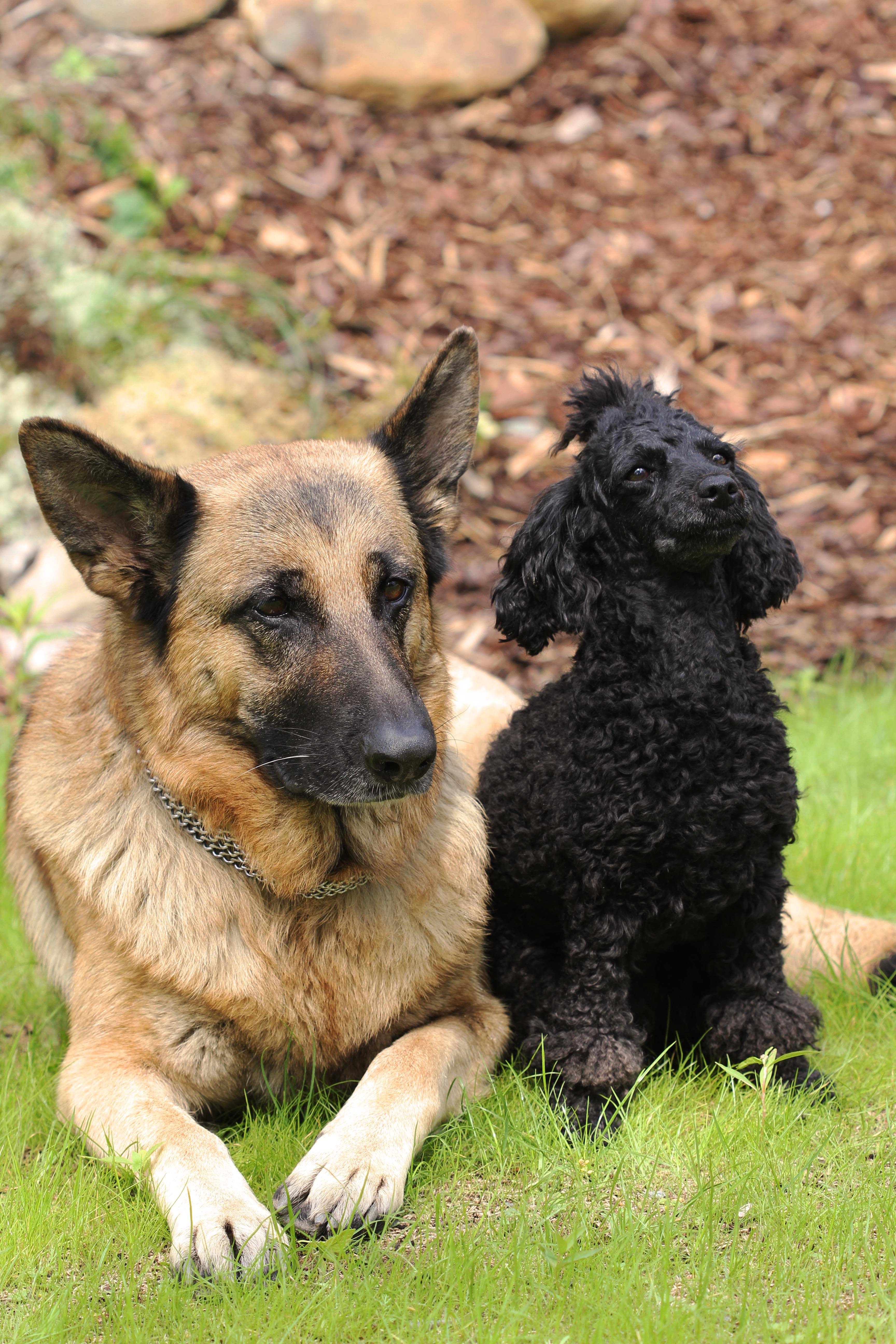 choosing to adopt a hypoallergenic dog vs a nonhypoallergenic dog